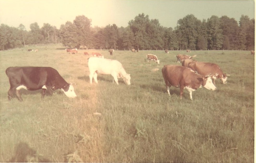 cow pics run in fam