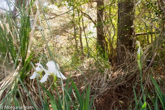 white iris-1