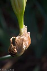 white iris-2