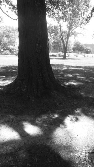 b&w shadow trees -3
