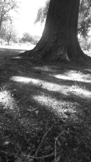 b&w shadow trees -5